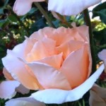 rosesforblog