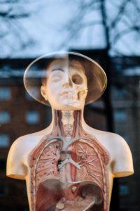 half-body-anatomy